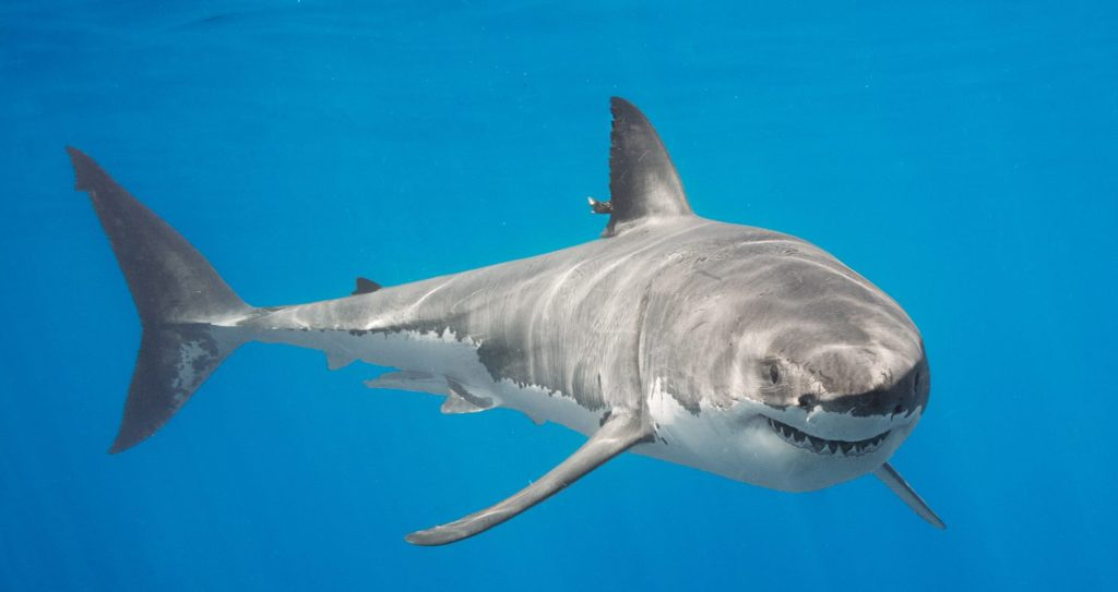 Creature Feature: Great White Sharks
