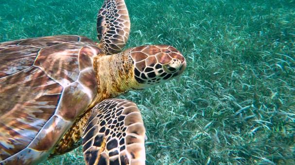 Belize - green turtle copy