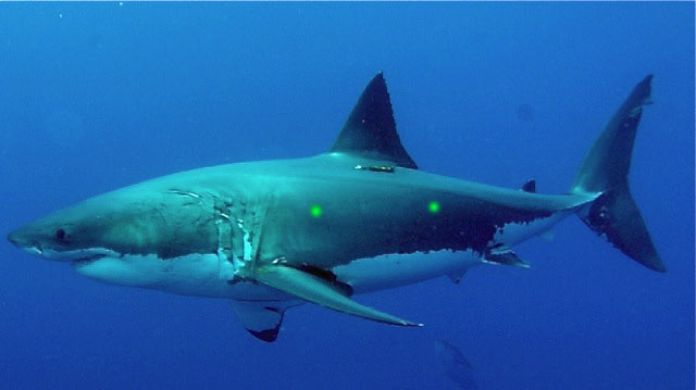 LIVE: Great White Shark Dive!